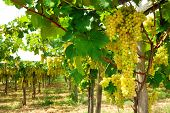 Beautiful White Ripe Grapes On The Vine In A Vineyard Against Of Bunches Of Grapes, Green Leaves, Wo poster