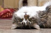 picture of funny animals  - House cat playing on a floor of the house - JPG