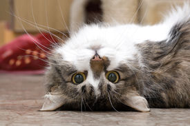 pic of funny animals  - House cat playing on a floor of the house - JPG