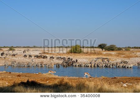 Blue Wildebeest, Zebra And Springbok Drinking Water, Okaukeujo Waterhole