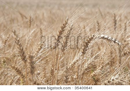 Ears Of Rye (secale Cereale)