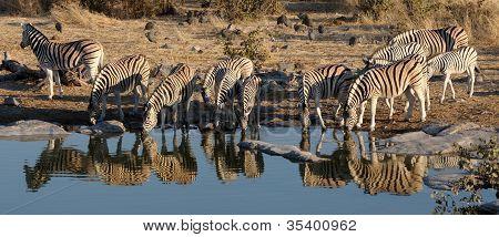 Zebra Herd Drinking Water, Okaukeujo Waterhole