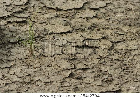 Plant in dried cracked