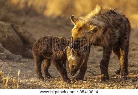 Hyena siblings fighting