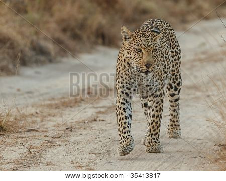 Leopard in road