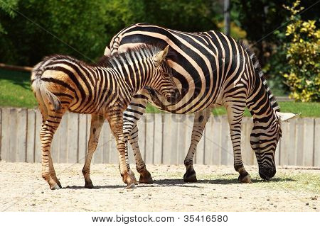 Two Playful Young Zebras