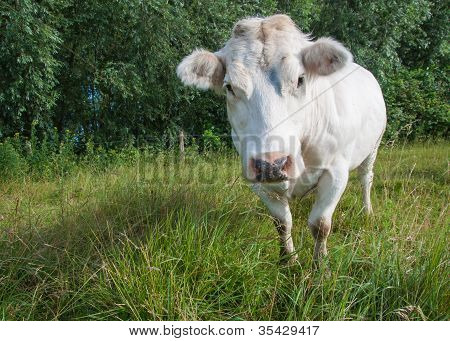White Cow In A Dutch Landscape