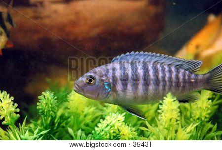 Navy Blue Cichlid