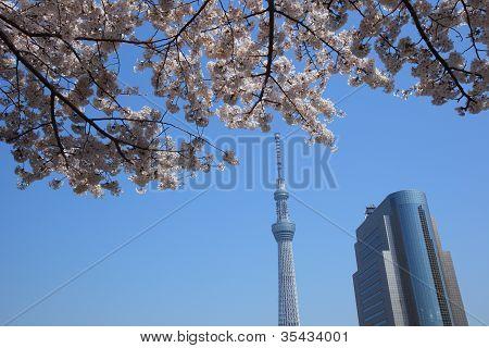 Tokyo Sky Tree e flor de cerejeira