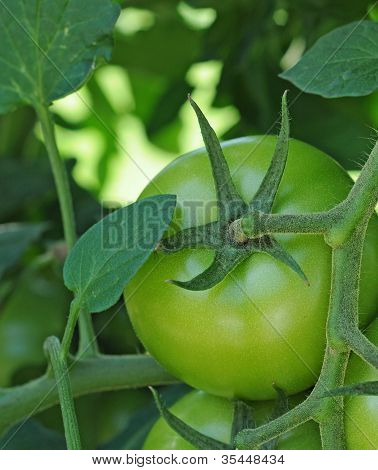 Unripe tomato on plant