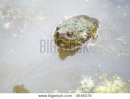 Common Snapping Turtle In The Water