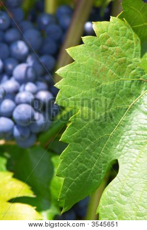 Leaf Of Grape