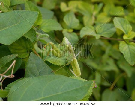 Praying Mantis Crawling Up