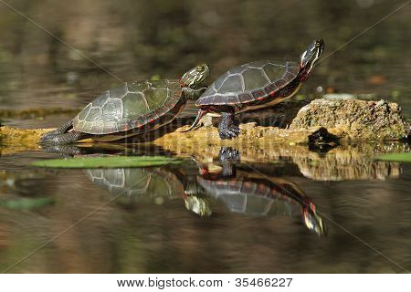 Pair of Painted Turtles Reflecting in the Water