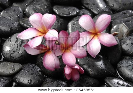 frangipani on black peddles in water drops as background