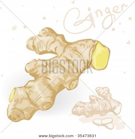 World spices. Ginger root. Vector.