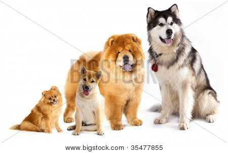 Alaskan malumut, Shiba Inu, Pomeranian, Chow Chow, Spitz and Prototypes