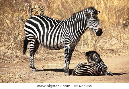 zebra mother and baby in luangwa national park zambia
