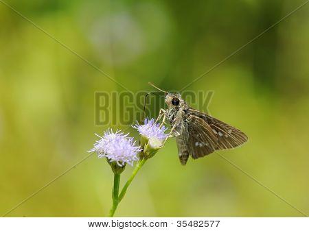 skipper resting on blue flower