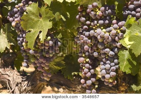Grapevine In Napa Valley, California