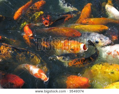 Japanese Koi In Feeding Frenzy