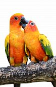 pic of sun perch  - Sun Conure Parrot on a Tree Branch - JPG