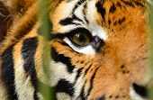 stock photo of tiger eye  - this is the eye of bengal tiger - JPG