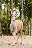 stock photo of eland  - Eland antelope the world - JPG