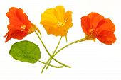 stock photo of nasturtium  - Flowering nasturtium  - JPG