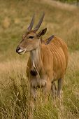 image of eland  - Portrait of Common Eland  - JPG