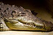 stock photo of crocodilian  - American alligator portrait in the zoo - JPG