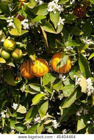 An Orange Tree In Full Spring Blossom