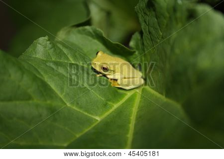 Baby Tree frog on the leaf