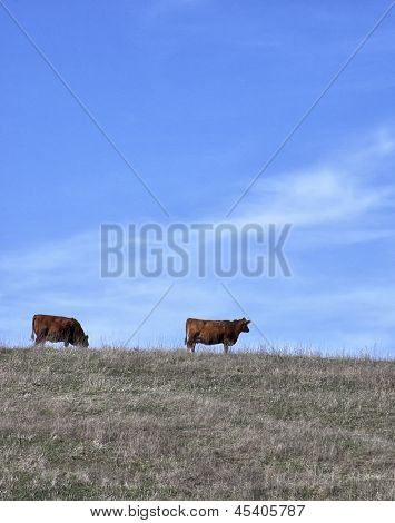 Healthy Organic Red Angus Cows