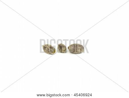 Three Blue Orchard Bee Cocoons