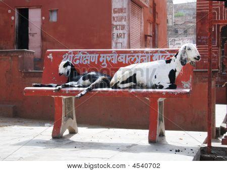 Goats On Street
