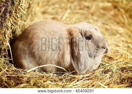 Lop-earred Rabbit