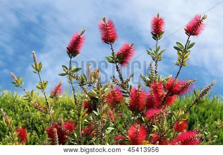 Callistemon Vimidinalis, A Ornamental Shrub In The Family Myrtaceae
