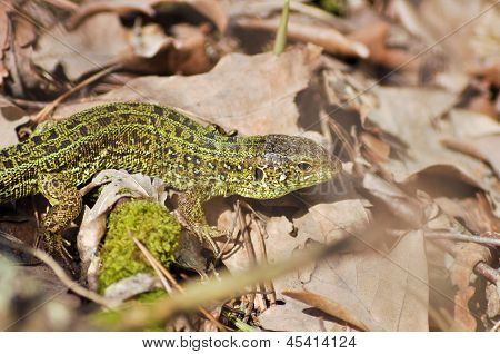 Green Lizard (lacerta Viridis).