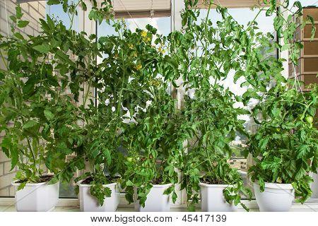 Tomato Bushes In Pots