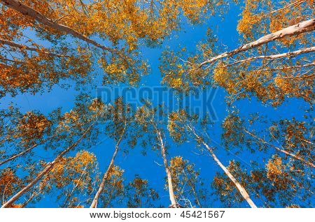Yellow Leaves Of Eucalyptus Blue Sky