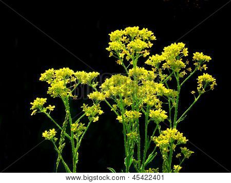 Barbarea Blooms
