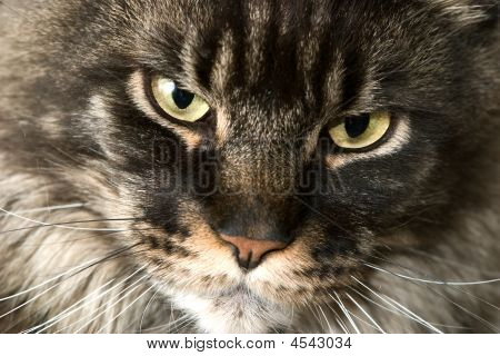 Cat Snout