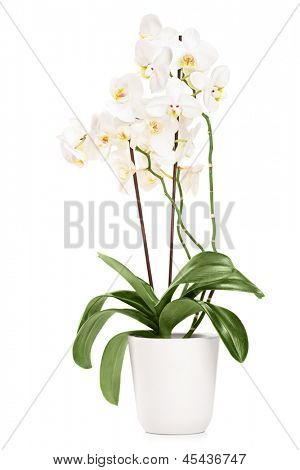 White orchid in a white pot with many flowers, isolated on white background