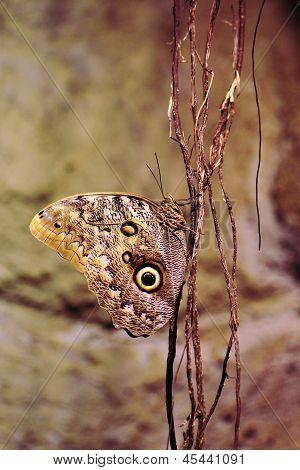 Owl butterfly (Caligo eurilochus)