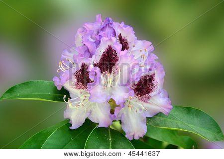 Purple-lavender Rhododendron Flower
