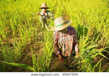 Traditional Asian farmers working in corn field, Bagan, Myanmar