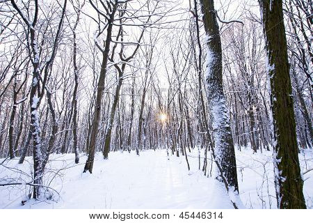 Winter Forest With Sun Behind Trees In Center