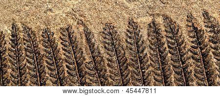 Fossil Farn