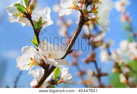 Kirsche Blüte